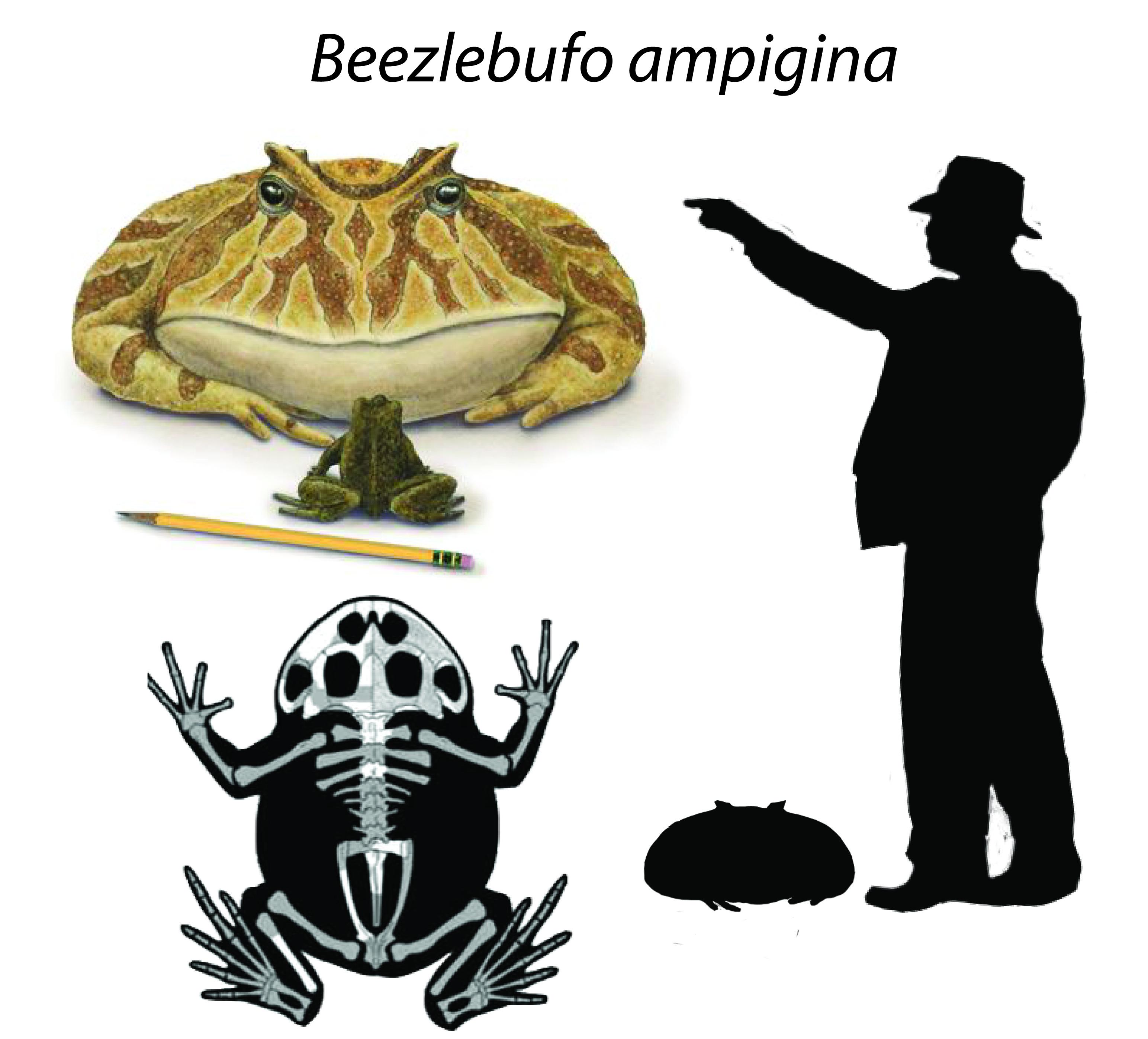 Beezlebufo ampigina