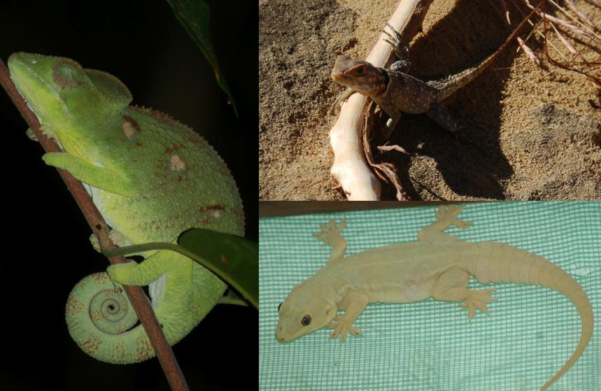Lizards of Madagascar
