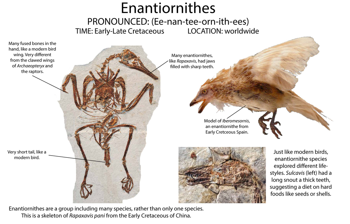Enantiornithes are a group of birds with teeth that lived in the Cretaceous, the last period in the Age of Reptiles.