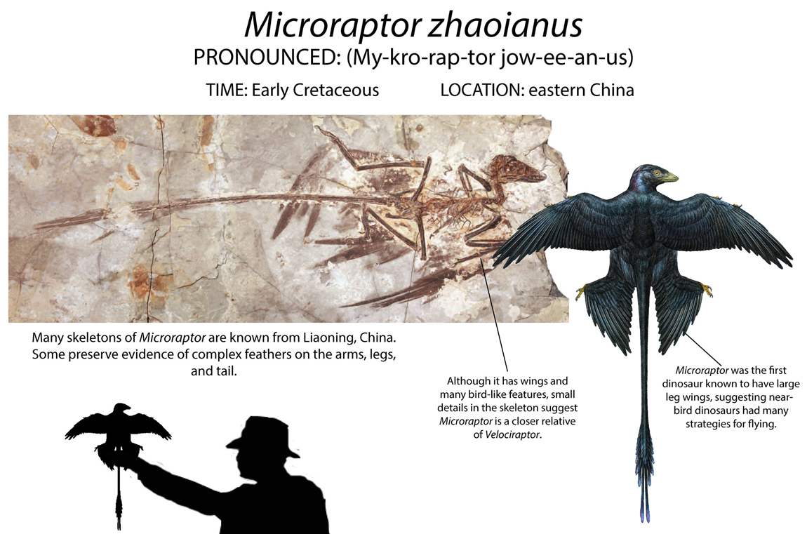 Microraptor is one of several feathered dinosaurs found in eastern China. Its fossil suggest that the animal had long wings on its arms and legs, and scientists are unsure if and how it flew.
