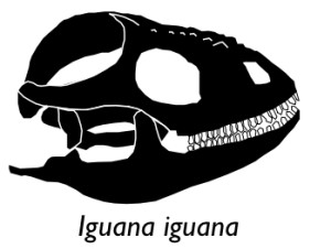 Small Iguana with ID