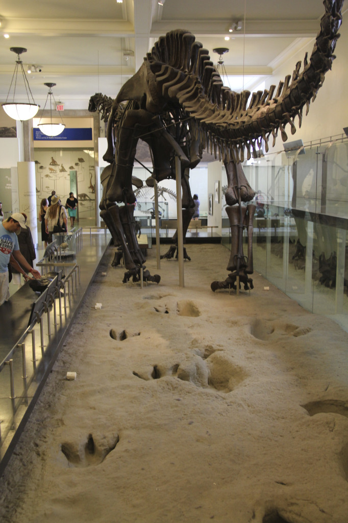 The reconstructed skeleton of Apatosaurus, a sauropod dinosaur popularly known as Brotosaurus, at the American Museum of Natural History is built over a cast of a sauropod trackway site.