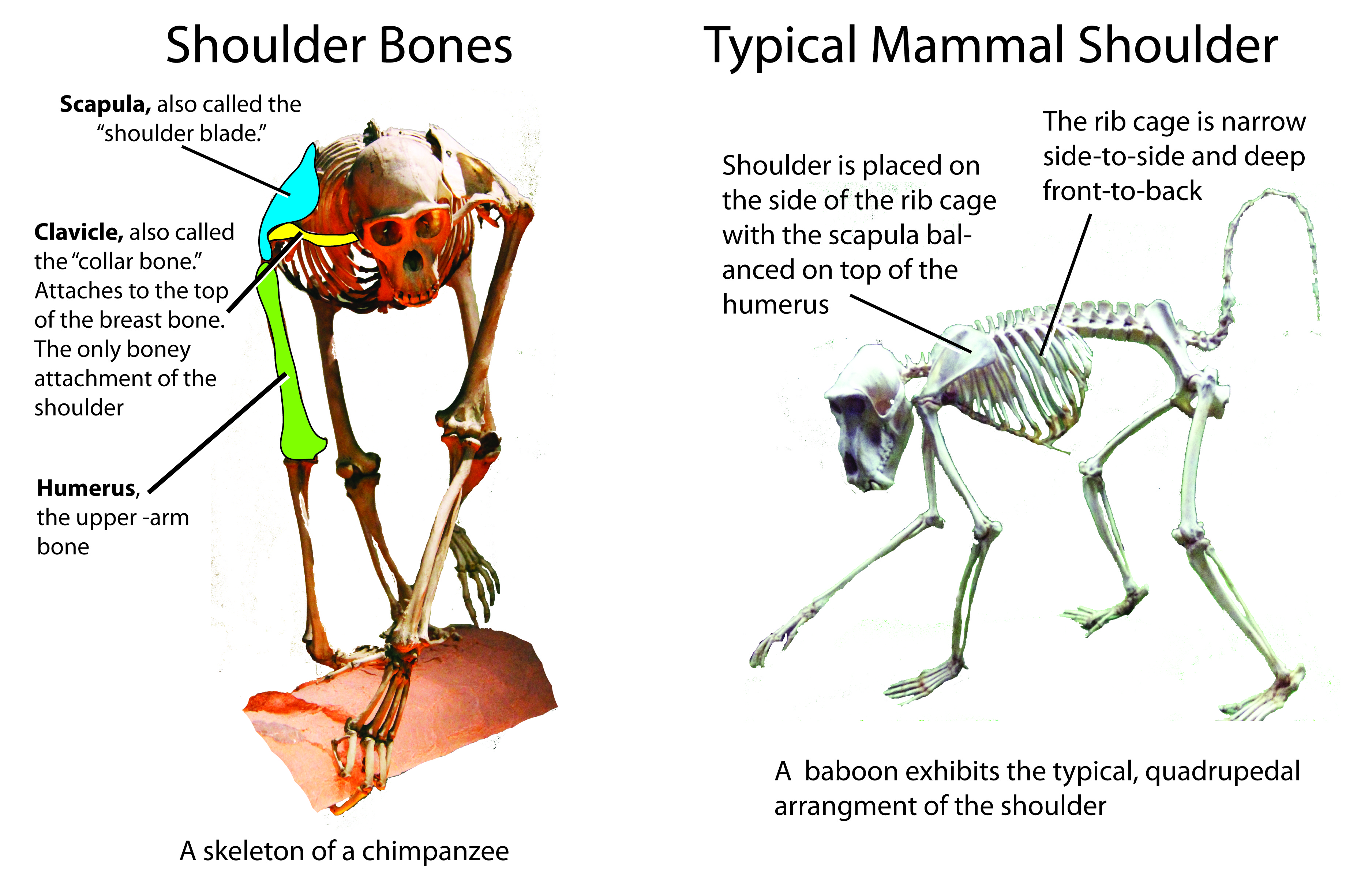 a report on the anatomy and locomotion of chimpanzees Bipedal humans came down from the trees, not up from the ground date: august 11, 2009 source: duke university summary: an analysis of wrist anatomy in humans, chimps, bonobos and gorillas .