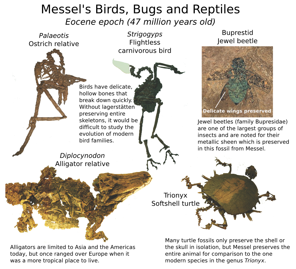 Messel Birds reptiles and bugs