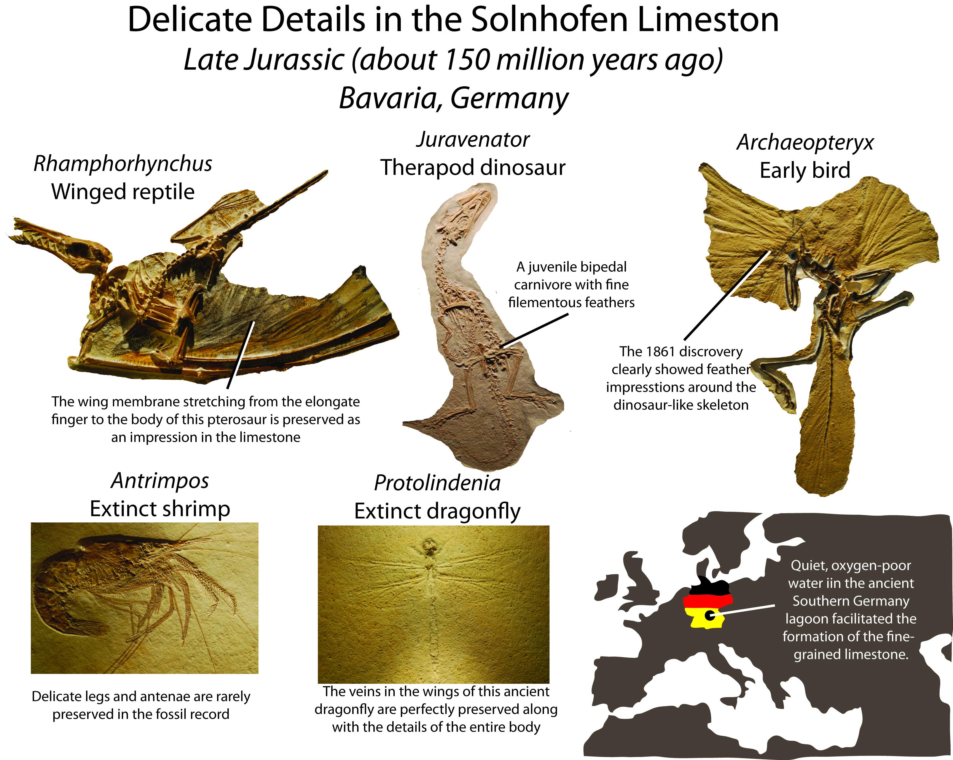 Solhofen fossils