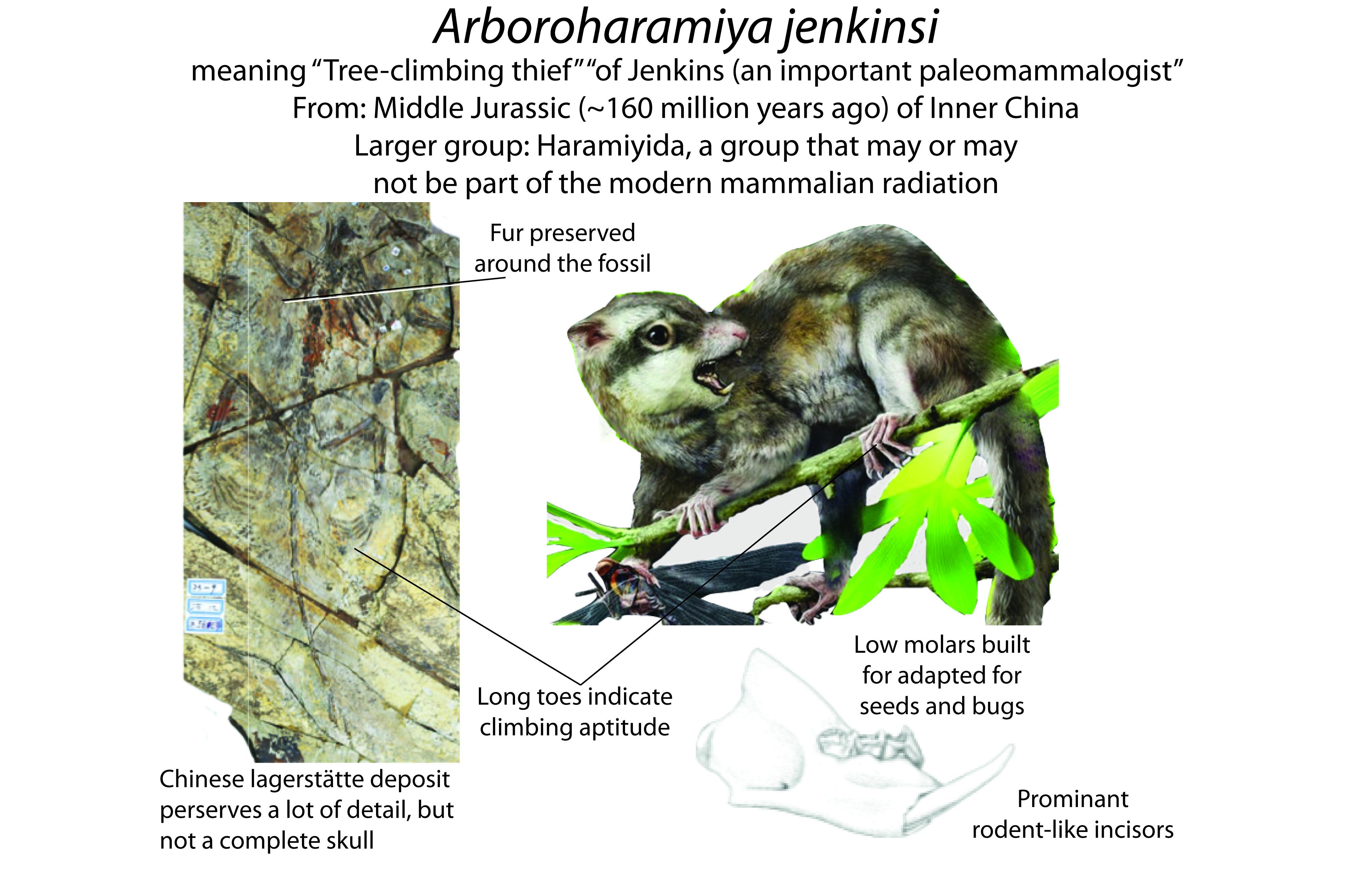Arboroharamiya