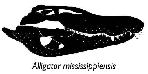 Alligator miss skull small text