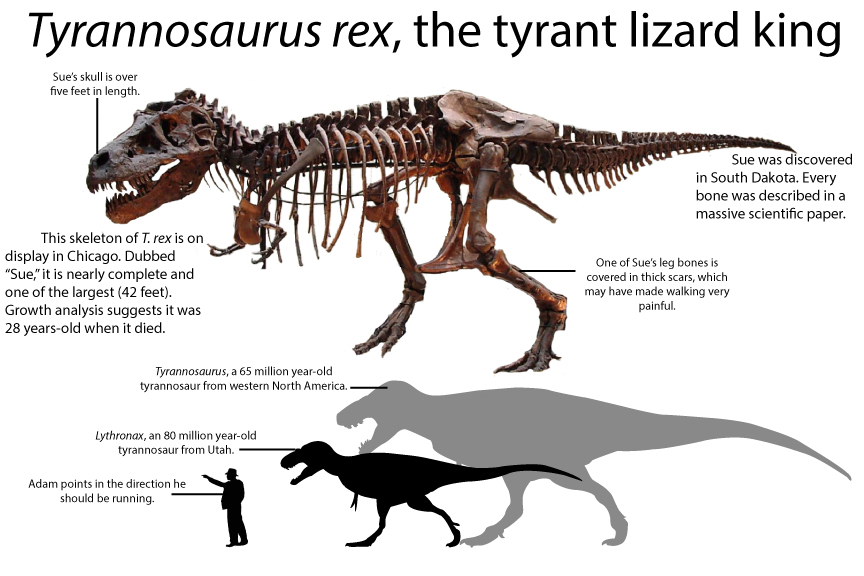 Tyrannosaurus rex skeleton size comparison to Lythronax Sue mount Field Museum of Natural history