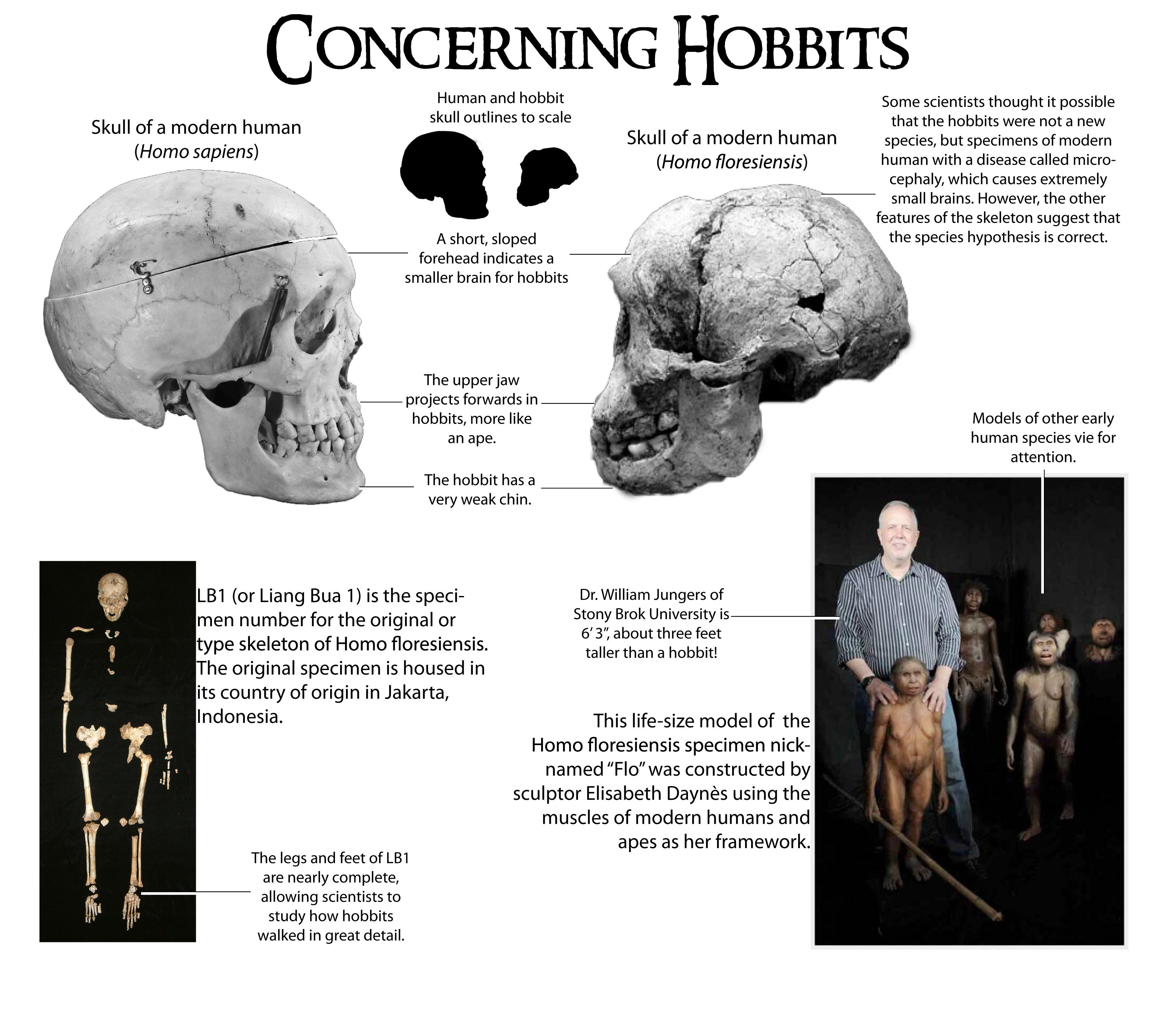 Homo floresiensis compared to Homo sapiens