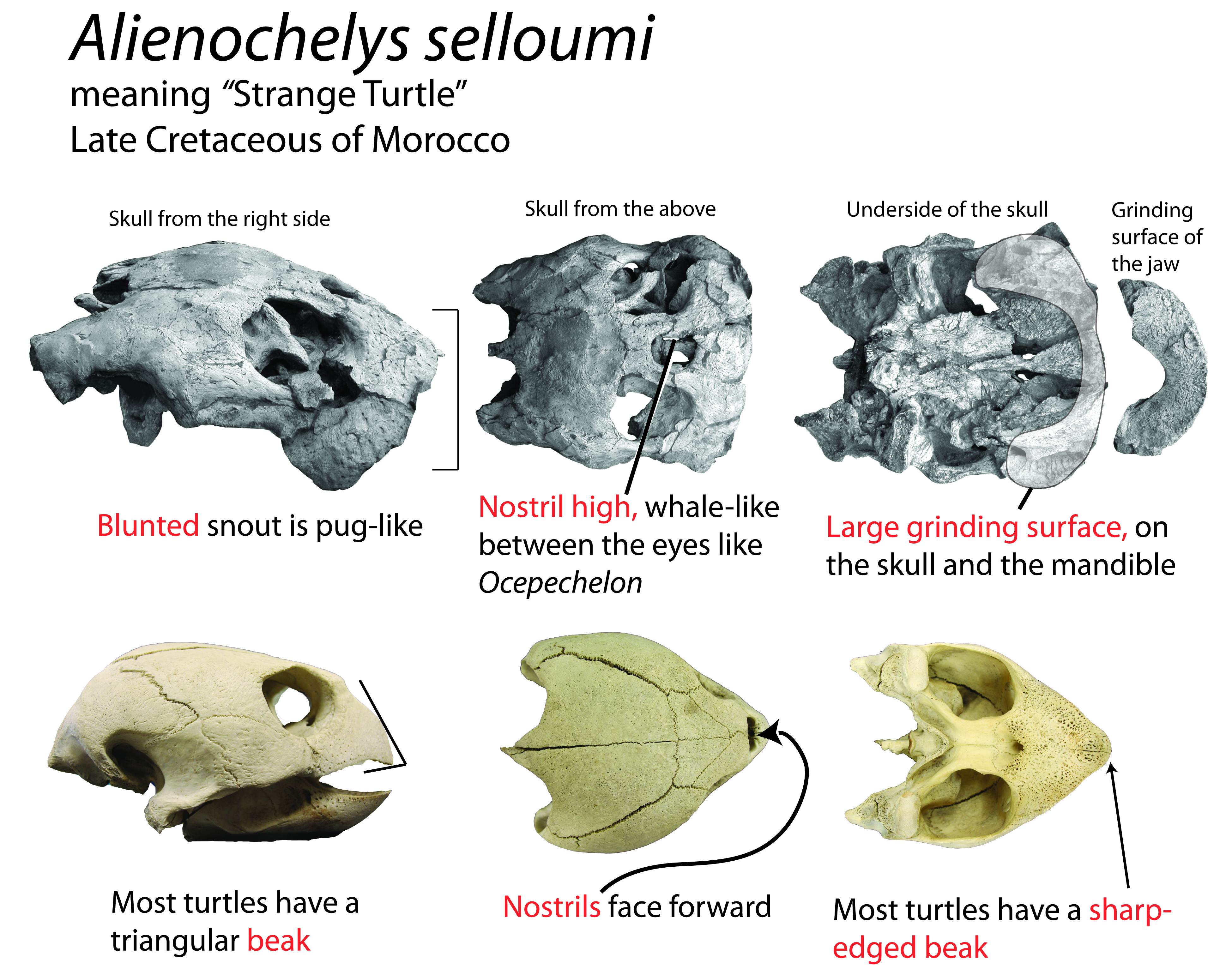 Alienochelys information