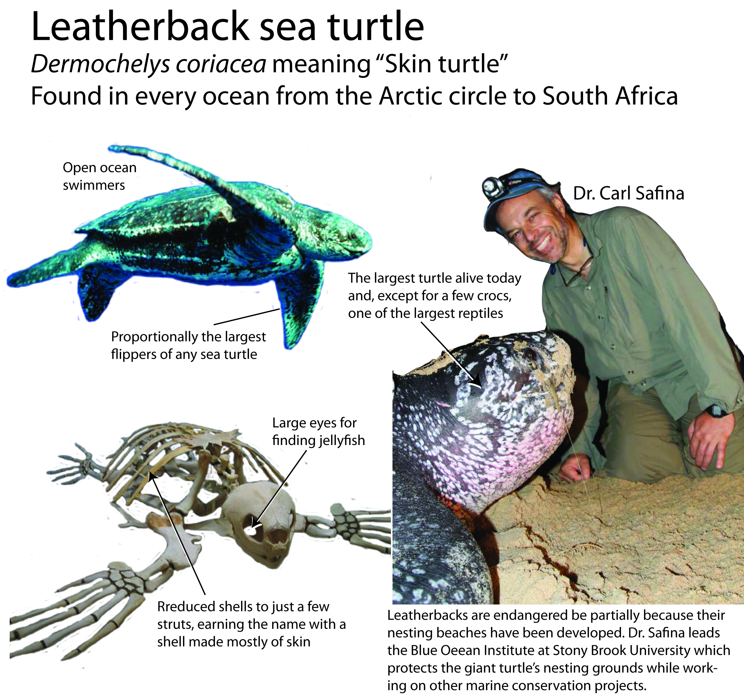 Leatherback information