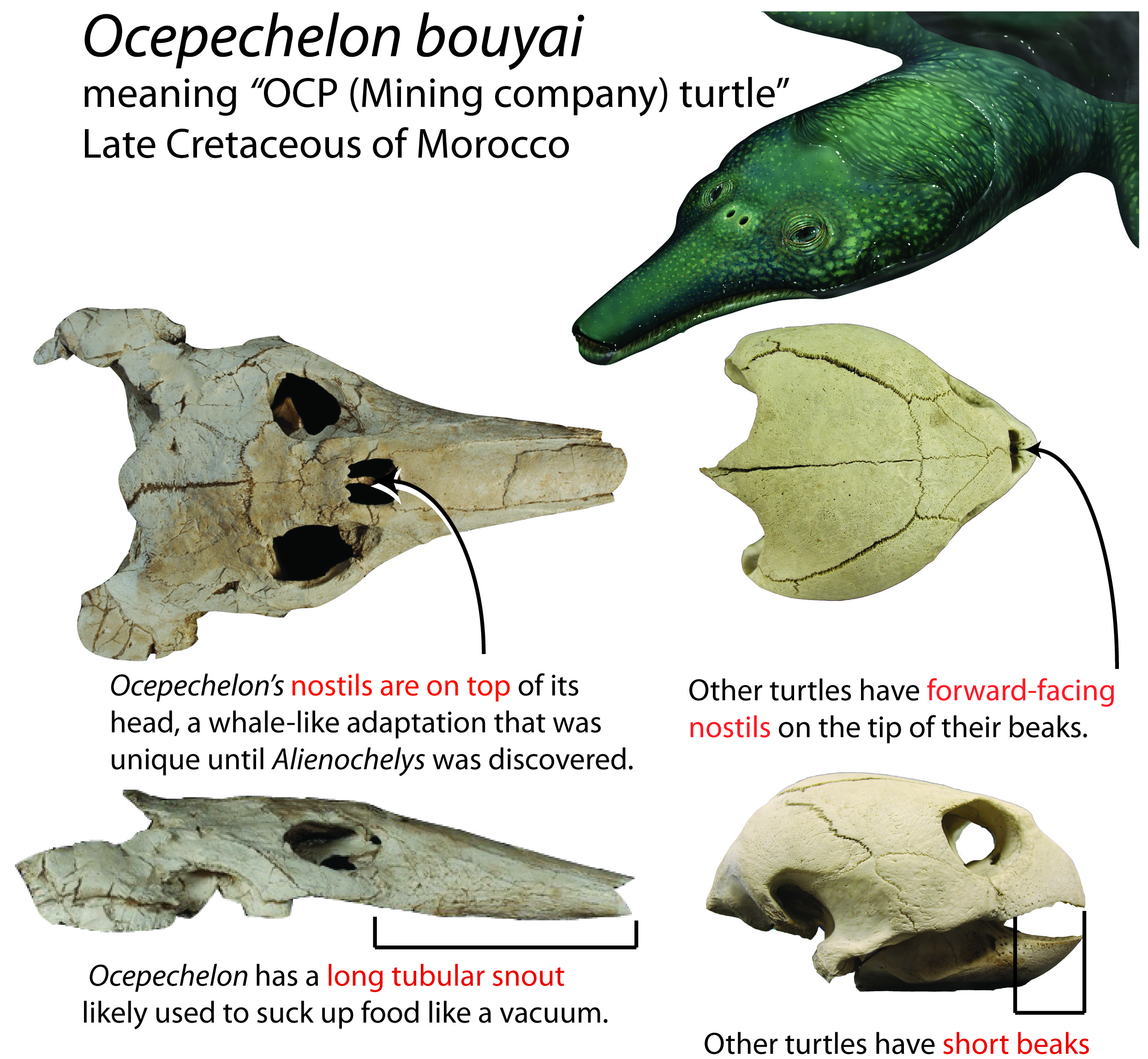 Ocepechelon Information