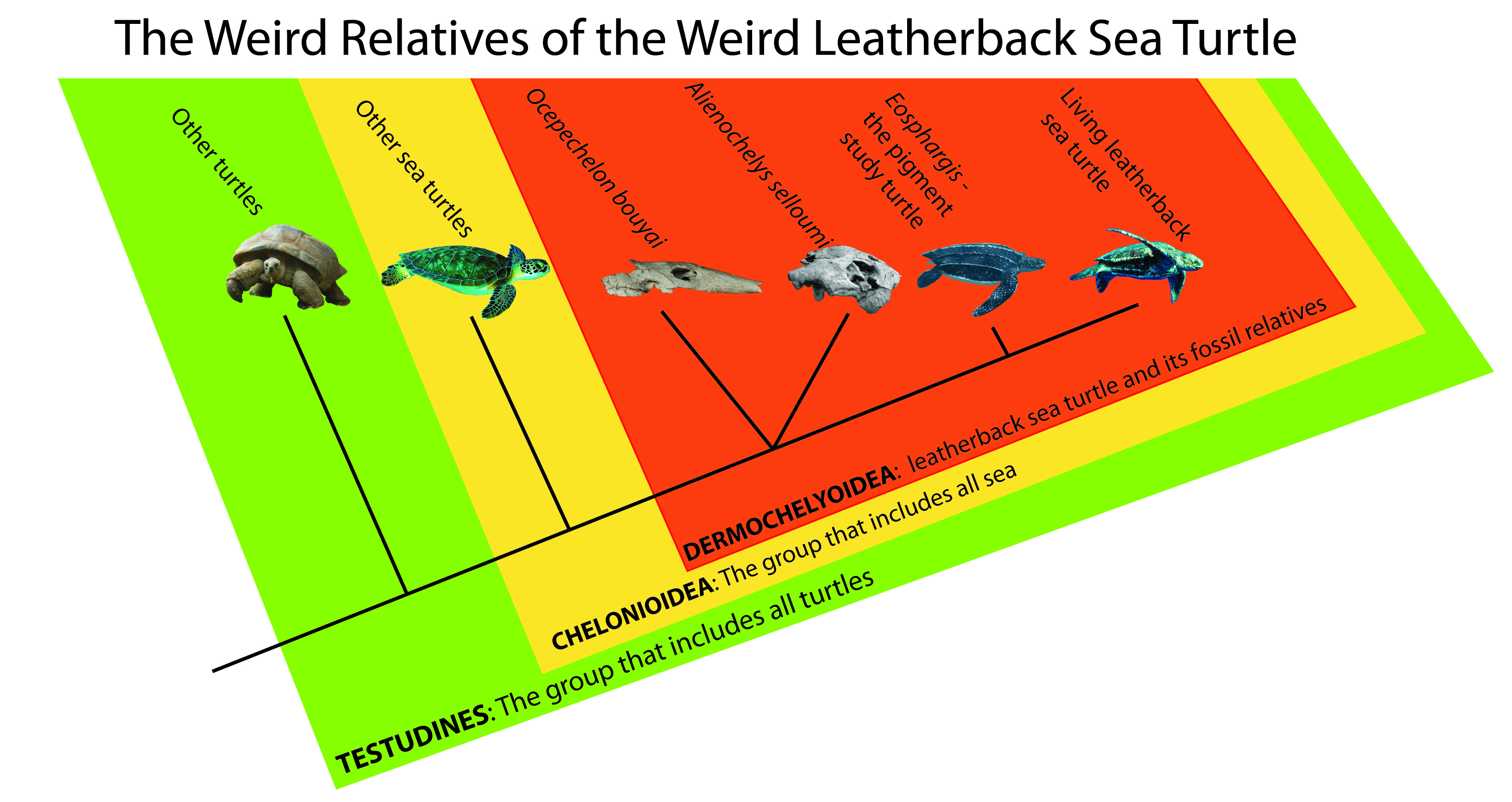 the molecular phylogenetics of marine turtles Gina hayes tme, june, 2005 an introduction to sea turtles: evolution and comparison of leatherbacks, loggerheads, greens and hawksbills modern sea turtle have only been around for about the last 120 million years, so what was going on before that.