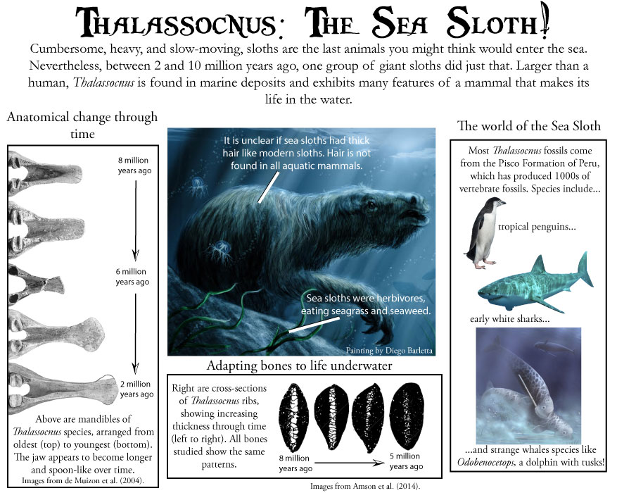 Thalassocnus was a species of ocean-going sloth from South America. Many species are known, each younger species showing stronger adaptations for life in the water than the next oldest species.