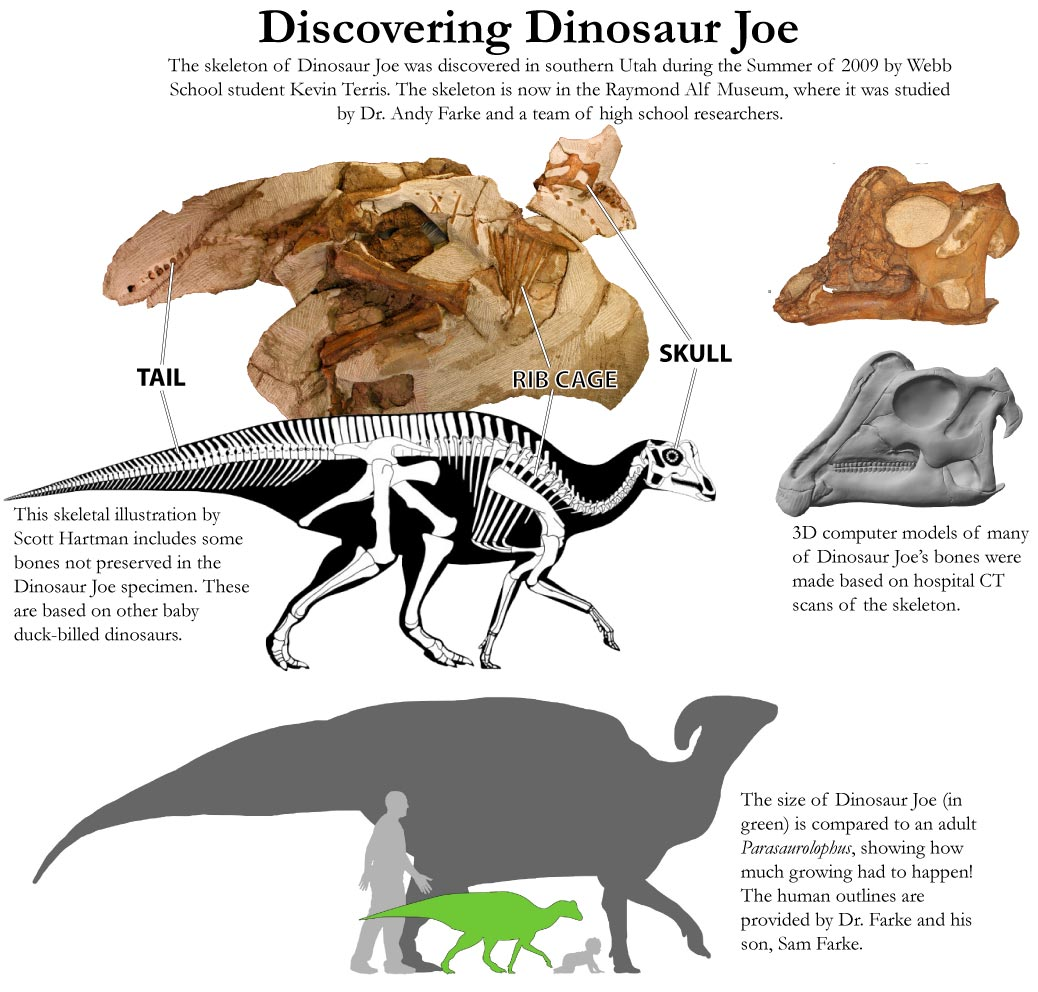 The Dinosaur Joe skeleton and an illustrated reconstruction is centrally featured. At right, the skull of Dinosaur Joe and a 3D model is featured. Below, a comparison of baby and adult size in Parasaurolophus and humans is shown.