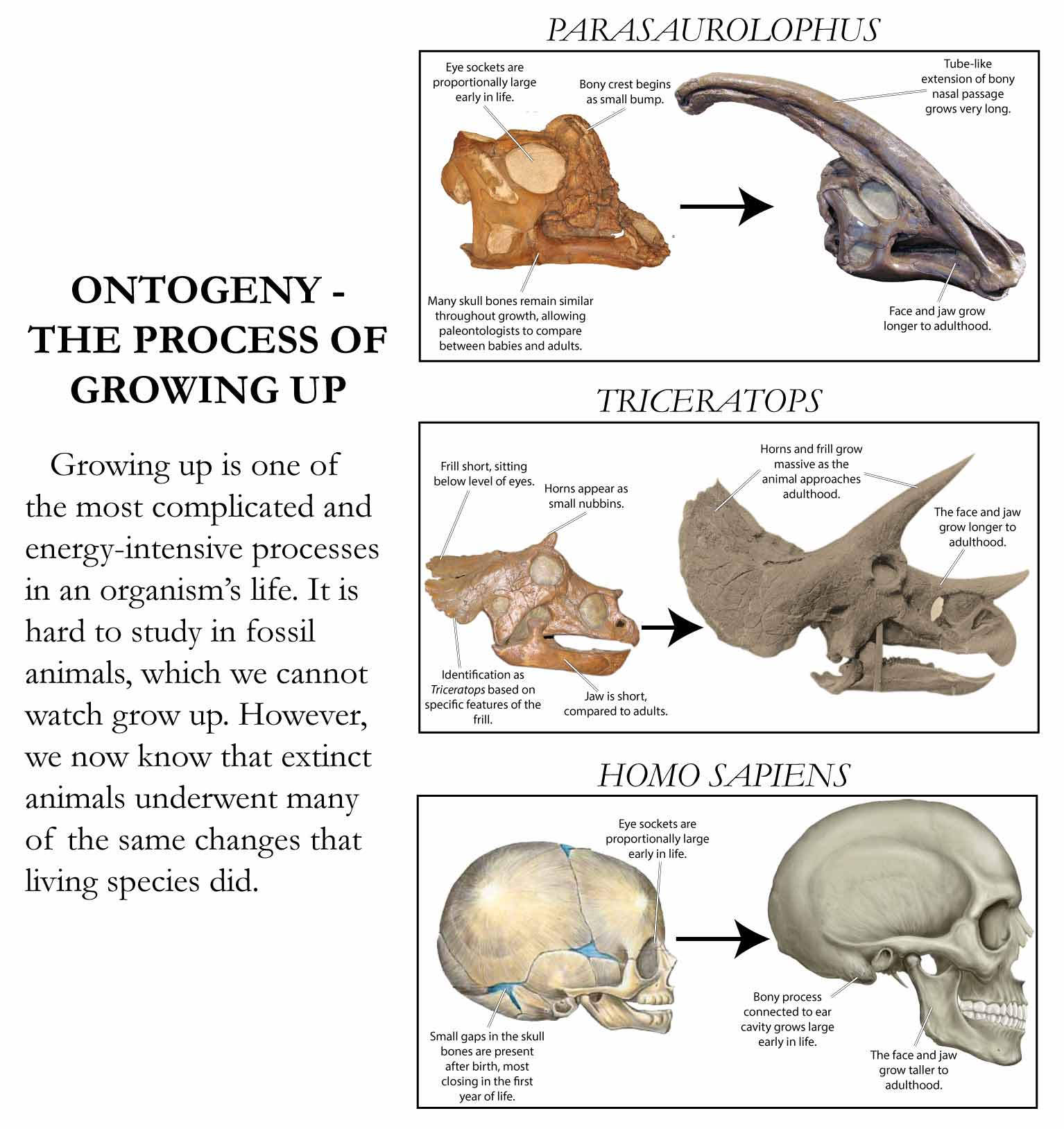 Illustration of ontogenetic growth trends in the dinosaurs Parasaurolophus and Triceratops and modern humans. Trends include fusion of skull elements and elongation of the face and jaw.