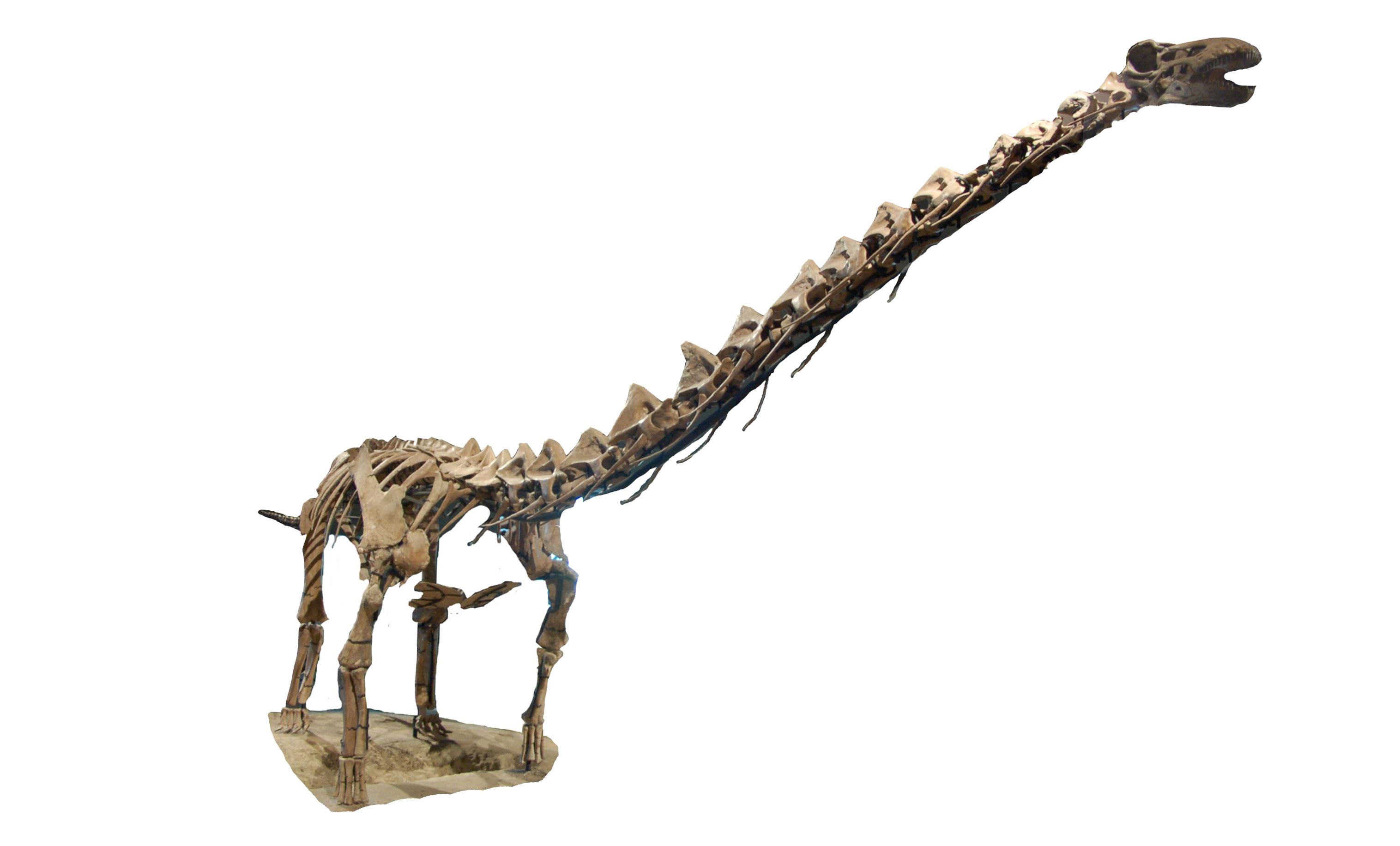 Rapetosaurus-skeleton