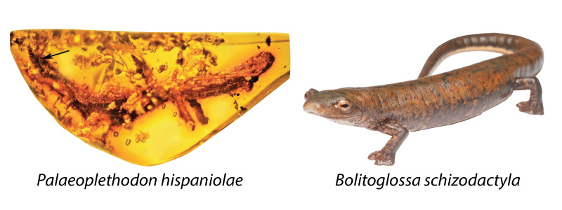 Images of the fossil salamander in amber, Palaeoplethodon, alongside a modern plethodontid salamander. The close resemblance suggests that Palaeoplethodon is a lungless animal, whose closest relatives lived nearby in North America.