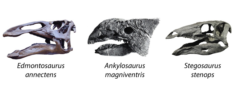 Edmontosaurus, Ankylosaurus, and Stegosaurus: three ornithischians with very different bites!