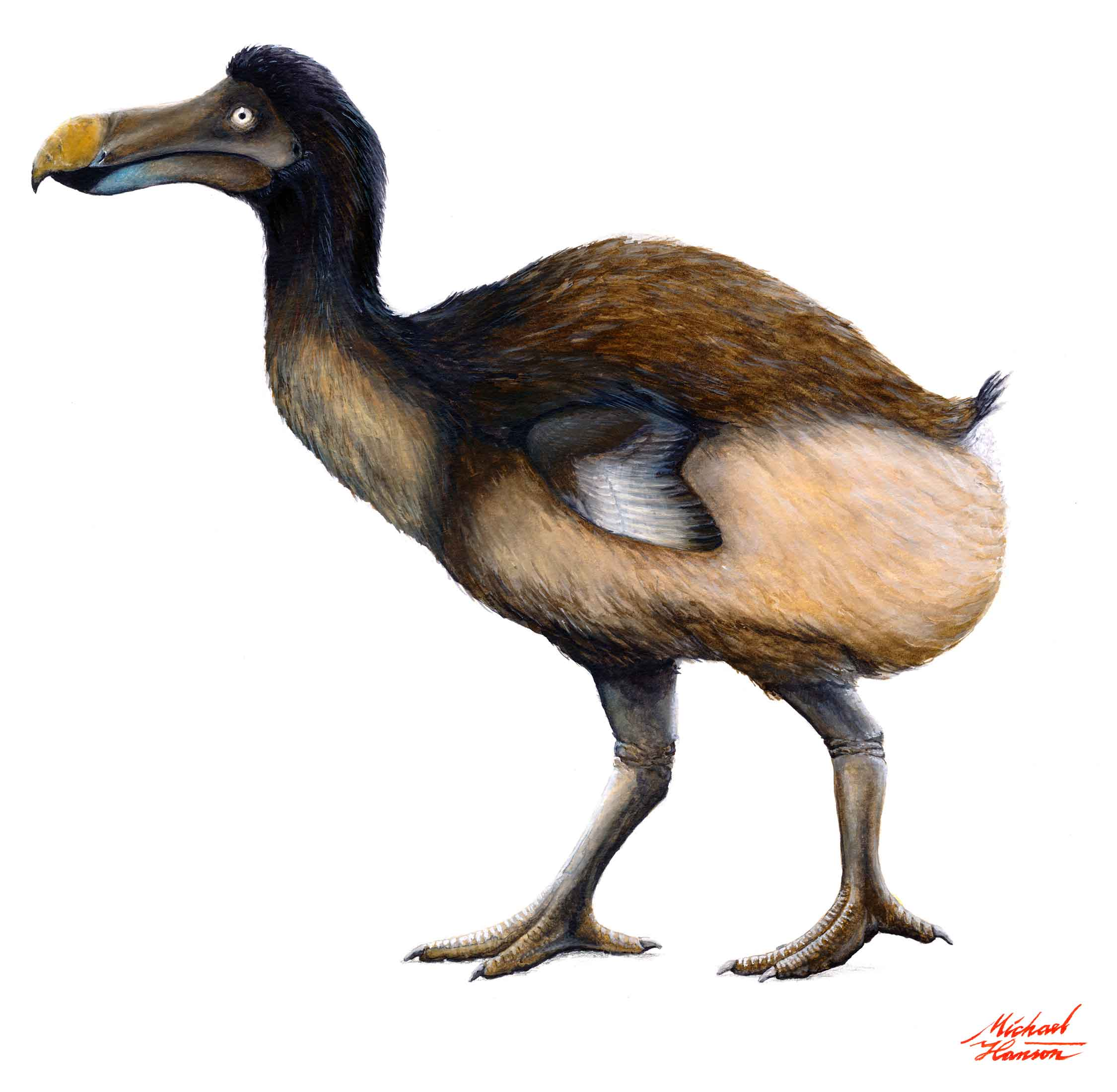 Dodo painting by Michael Hanson