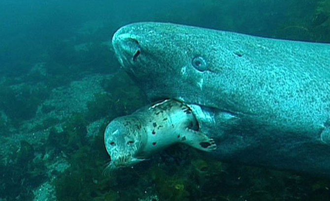 Greenland Sharks are slow-moving predators. They seem to capture seals and other prey items while they are resting.