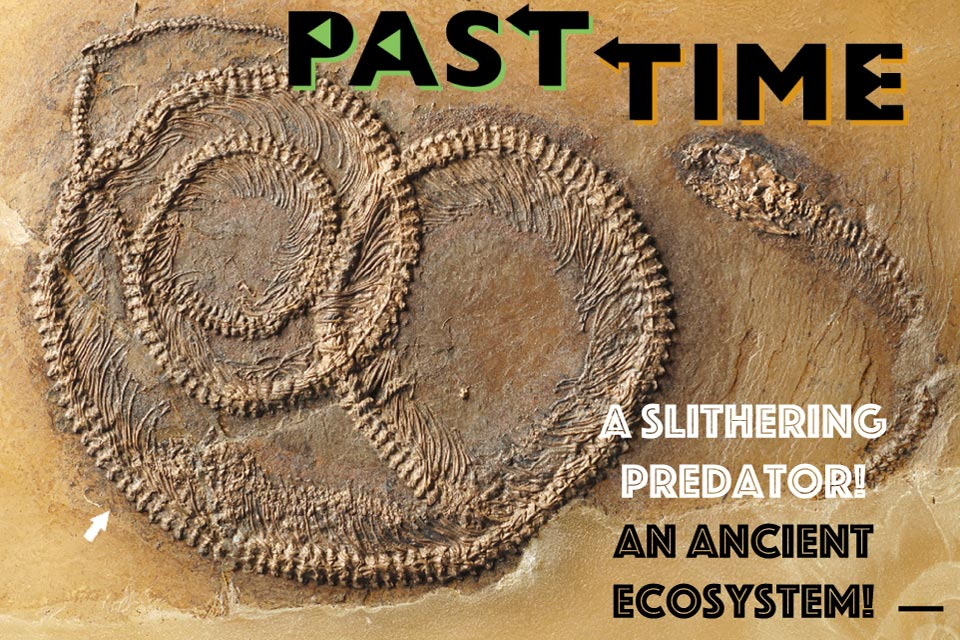 A Food Chain in a Fossil: A snake skeleton with its prey still inside!