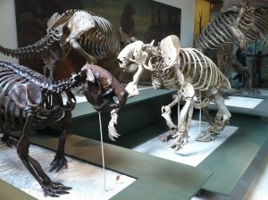 Ground sloth skeletons on display at the American Museum of Natural History.